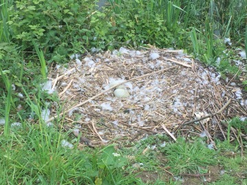 Nest just after hatching